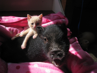 Animcal Medical Center Yorktown piglet and kitten