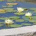 Thumb-lilly-pond-at-troy-senior-living-community