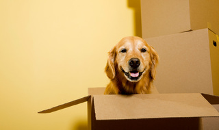 Happy dog in box houston