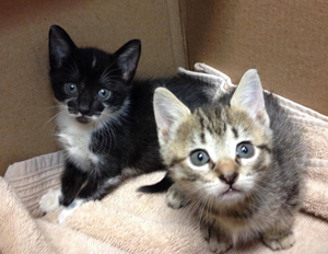 Kittens getting vaccinated at The Feline Medical Center