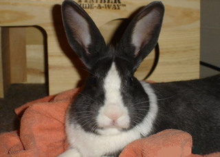Big ear bunny bothell