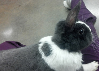 Black grey bunny bothell