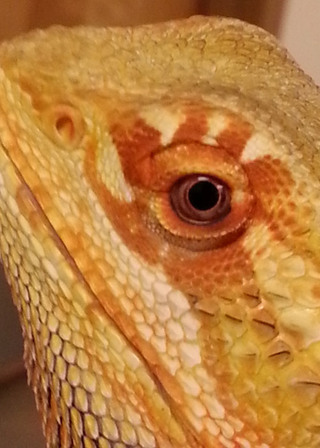 Bothell lizard eye
