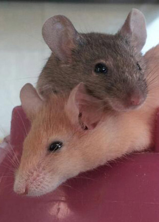 Bothell vet two rats