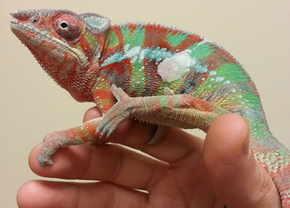 Colorful iguana hand bothell