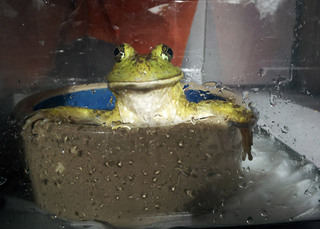 Frog in bath bothell
