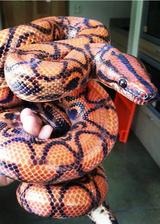 Orange boa bothell vet