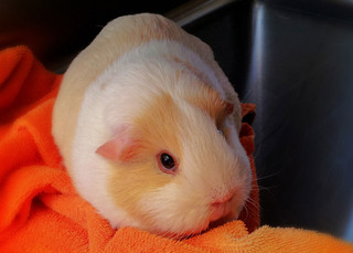 Orange towel guinea pig
