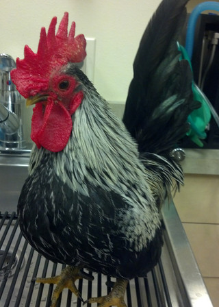 Rooster bothell vet wa