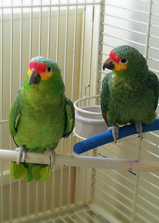 Two green birds at bothell vet