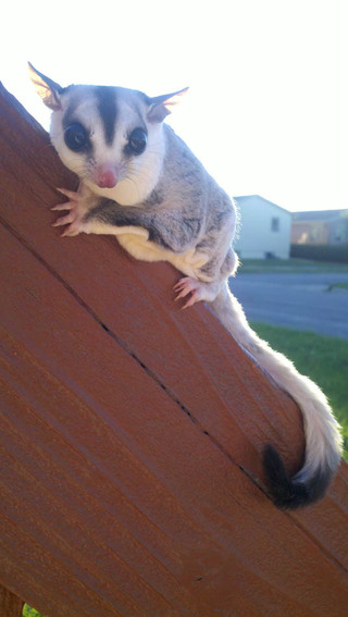 Sugar glider at rapid city