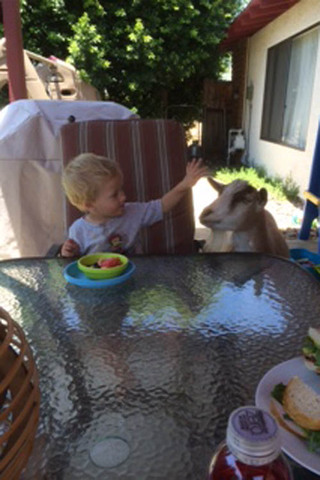 Boy having lunch with goat at murrieta veterinary hospital