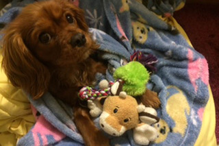 Puppy playing with toys at murrieta veterinary hospital
