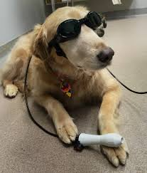 Dog wearing goggles for their laser treatment at ABQ Petcare Hospital
