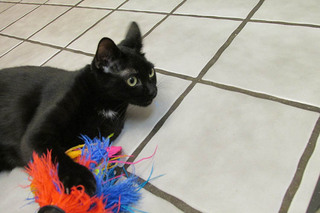 Black cat playing on the floor at care animal hospital in arvada co