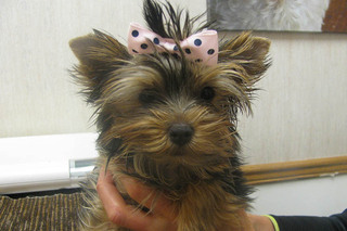 Puppy with bow at care animal hospital in arvada co