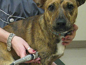 Laser Therapy at Care Animal Hospital.