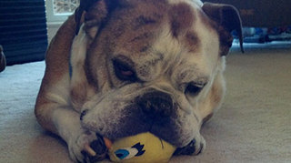 Dog chewing on tweety