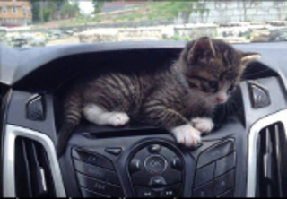 Kitten in car dash
