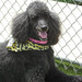 Thumb-petsuites_zionsville-freshly-groomed-dog
