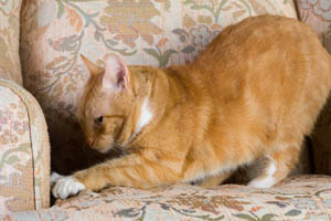 Declaw Your Cat in Chambersburg, PA