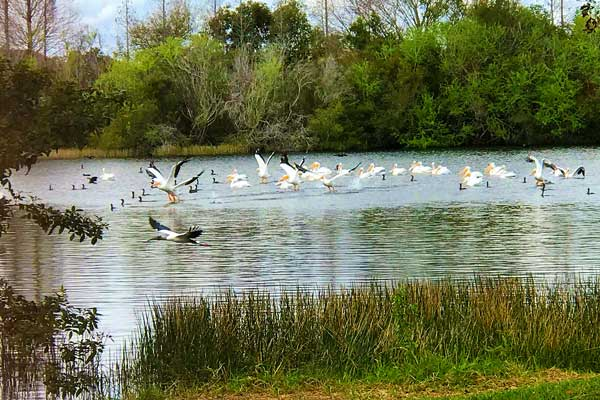 Birds on pond1a
