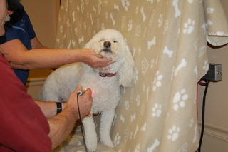 perforning laser therapy on a dog Discovery Bay Veterinary Clinic