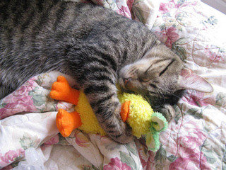 Cat cuddling with stuffed duck Riverview Animal Hospital