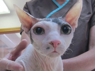 Hairless cat with big eyes Riverview Animal Hospital