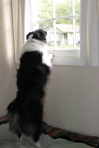 Dog looking out window Kitsap Veterinary Hospital